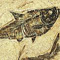 Fossil Fish by JQ Licensing