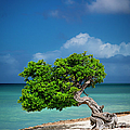 Fototi Tree - Aruba by Brian Jannsen