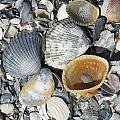 Four Beautiful Shells by Ellen Meakin