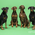 Four Dobermans Sitting Down by Steve Downer