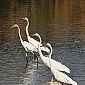 Four Egrets Fishing by Tom Janca