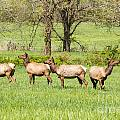 Four Elk by Terri Morris