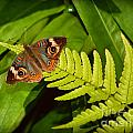 Four Eye Butterfly by Amy Lucid