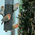 Four Finches Feeding by Heidi Manly