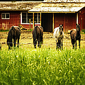 Four Horses by Belinda Greb