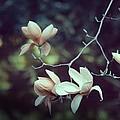 Four Magnolia Flower by Marianna Mills