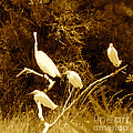 Four Resting Egrets by Anita Lewis