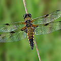 Four-spotted Skimmer by Judith Groeger