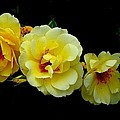 Four Stages Of Bloom Of A Yellow Rose by Janette Boyd