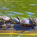 Four Turtles by Kate Brown