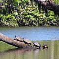Four Yellow Bellied Turtles by Nance Larson