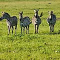 Four Zebras by Menachem Ganon