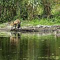 Fox At Water Hole by Edward Peterson