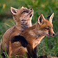 Fox Cub Buddies by William Jobes