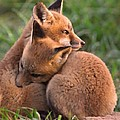 Fox Cubs Cuddle by William Jobes