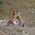 Fox Dance by Sandra Updyke