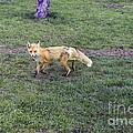 Fox by David Arment