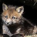 Fox Kit In Den by Sharon Fiedler
