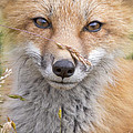 Fox Kit In The Grass by Jeff McGraw