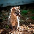 Fox Kit by Paul Freidlund