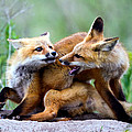 Fox Kits At Play - An Exercise In Dominance by Merle Ann Loman