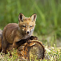 Fox Pup In The Morning Light by Mircea Costina Photography