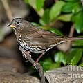 Fox Sparrow by Anthony Mercieca