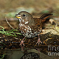 Fox Sparrow Drinking by Anthony Mercieca