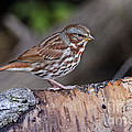 Fox Sparrow Pictures 16 by World Wildlife Photography