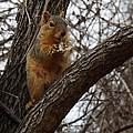 Fox Squirrel 1 by Sara  Raber