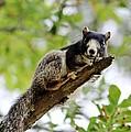 Fox Squirrel by Cynthia Guinn
