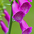 Foxglove Digitalis Purpurea by Tony Murtagh