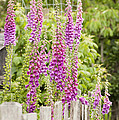 Foxglove Fence by Anne Gilbert
