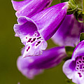 Foxglove Flower by Michael Moriarty