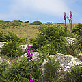 Foxgloves And Cows by Terri Waters