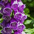 Foxgloves Textured by Steve Purnell