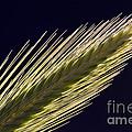 Foxtail Barley by John Shaw