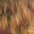 Foxtail by Ron Sanford