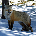 Foxy Shadows by DeeLon Merritt