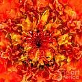 Fractal Chrysanthemum by Elizabeth McTaggart