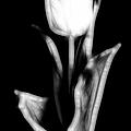 Fractal Tulip by Sebastian Musial