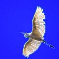 Fractal White Egret by Beth Sargent