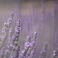 Fragrance by Lynn Sprowl