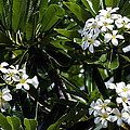 Fragrant Clusters by Christi Kraft
