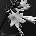 Fragrant Plantain Lily by J. Horace McFarland