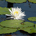 Fragrant White Waterlily - Nymphaea Odorata - Florida Native by Becky Erickson