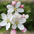 Framed Apple Blossom by Christiane Schulze Art And Photography