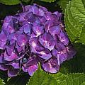 Framed Purple Blue Hydrangea Blossom by Kathy Clark