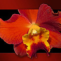 Framed Red Orchid  by Phyllis Denton