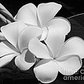 Frangipani In Black And White by Sabrina L Ryan